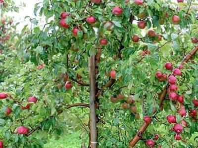 Лучшие сорта яблонь для различных регионов. описание, фото — ботаничка.ru