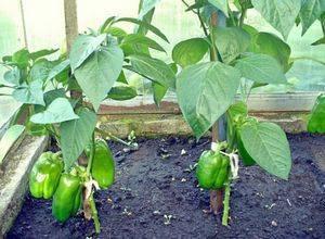 Можно ли выращивать перец и баклажаны в одной теплице: правила посадки, расстояние