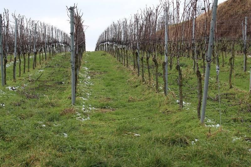 Осенние работы по обрезке и укрытию винограда