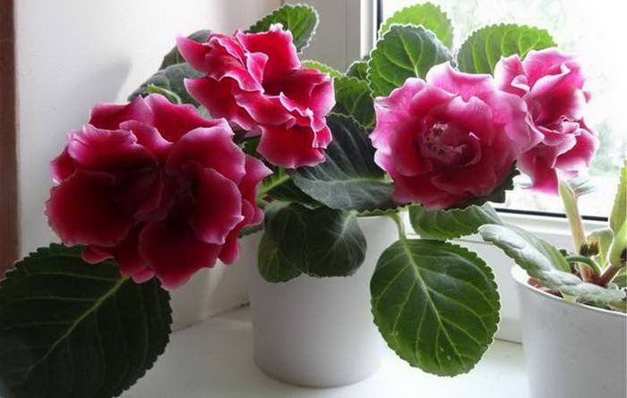 Размножение глоксинии листом и уход за растением в домашних условиях