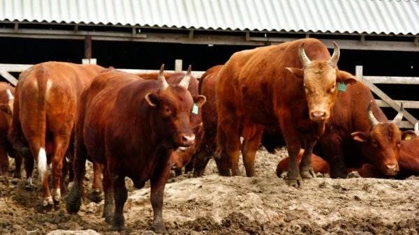 Калмыцкая порода коров – мясное скотоводство в россии