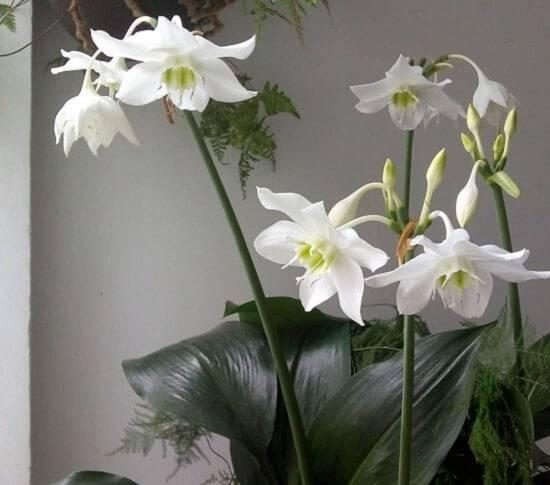 Живые краски и душистые ароматы: обзор комнатных луковичных растений