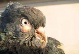 Орнитоз у птиц: симптомы, лечение и борьба