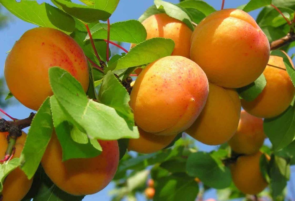 Абрикос кичигинский: описание сорта, преимущества и недостатки, характеристика плодов, выбор места, особенности посадки и ухода, отзывы и советы