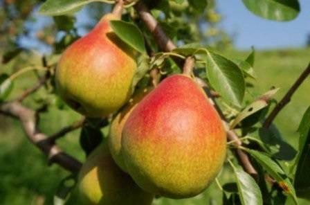 """Груша """"купава"""": описание, характеристики сорта и фото плодов selo.guru — интернет портал о сельском хозяйстве"""