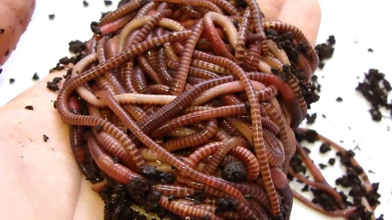 Калифорнийские черви: что это, как разводить в домашних условиях
