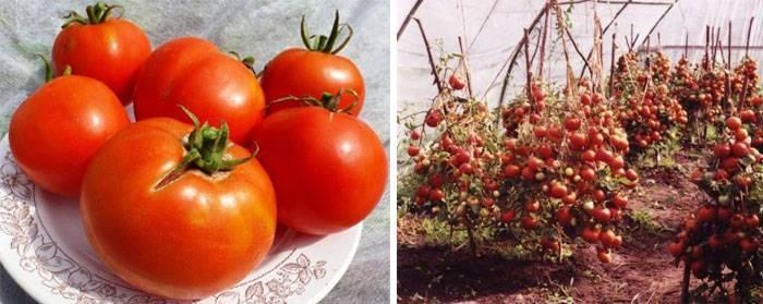 Как выращивать сорт томатов лабрадор?
