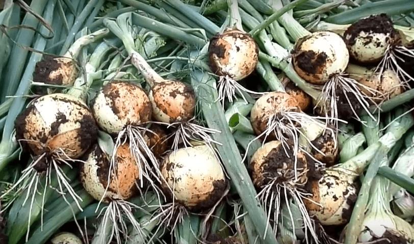 Лук-севок шетана — особенности сорта и выращивания