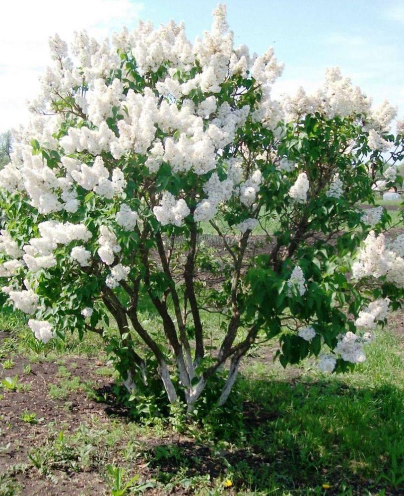 Сирень «красавица москвы»: описание, фото, посадка и уход - цветочки - медиаплатформа миртесен