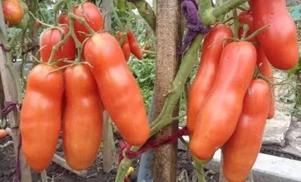 Томат казанова: описание, фото, агротехника выращивания, отзывы