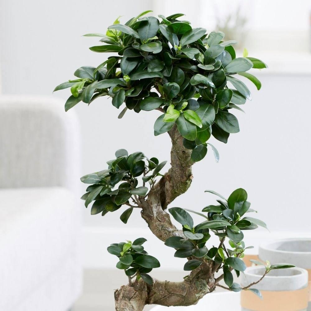 Фикус микрокарпа (бонсай): уход в домашних условиях, опадают листья что делать?