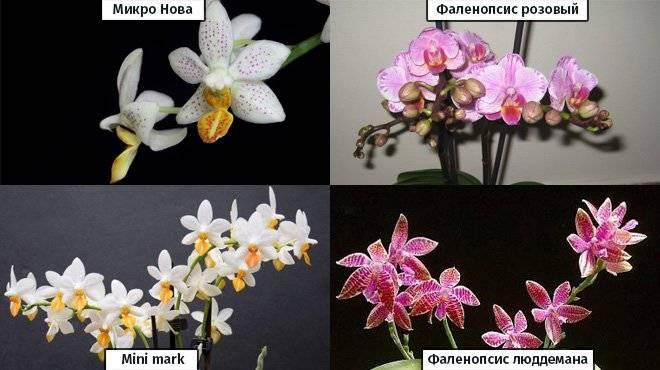 Мини орхидея: уход в домашних условиях (+фото)