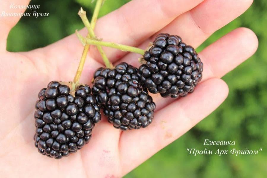 Ежевика прайм арк фридом: история, описание, выращивание и уход, урожайность