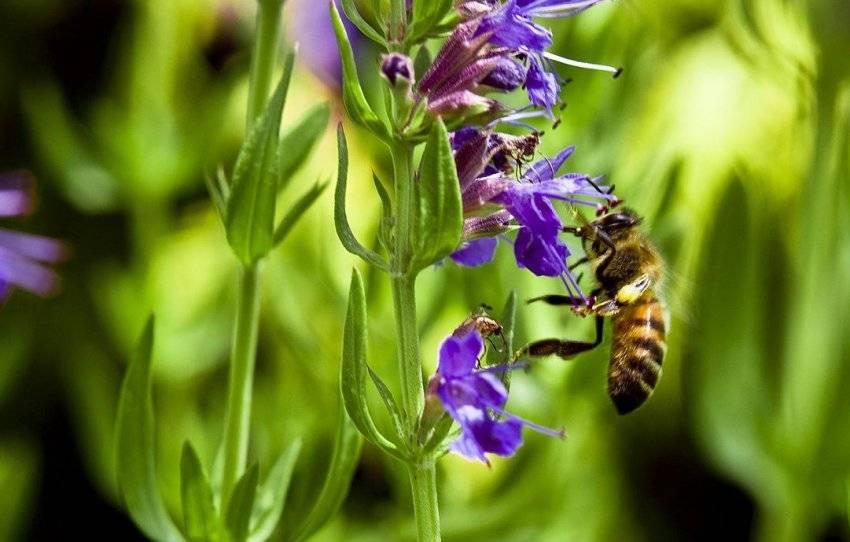 Топ 5 цветов-медоносов для создания пчелиной клумбы – правила посадки и ухода