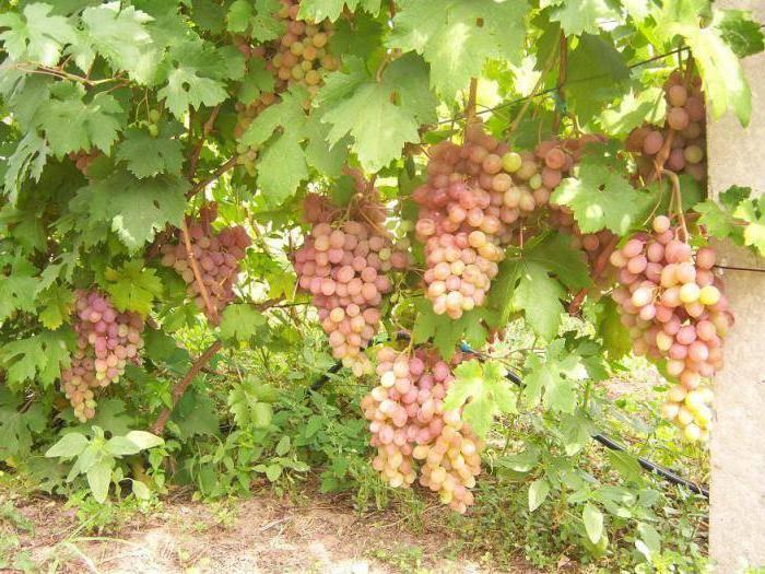 Виноград румба: история селекции гибридного сорта, характеристики культуры