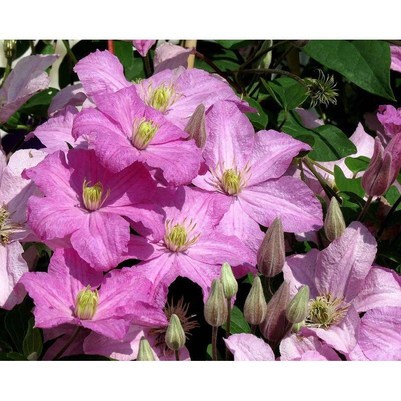 Клематис комтесс де бушо: фото и описание, отзывы садоводов, характеристика сорта