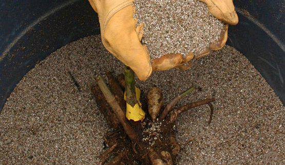 Как сохранить клубни георгин зимой?