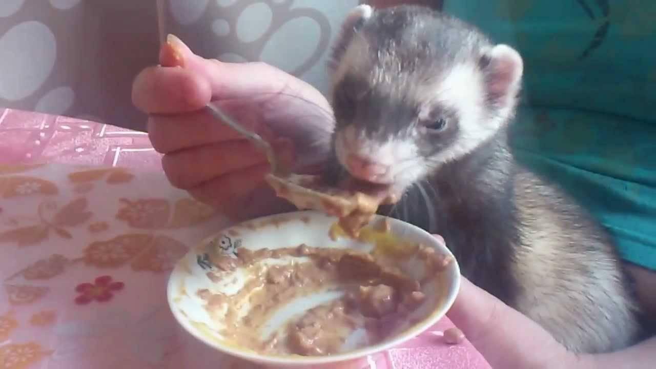 Что едят хорьки в природе и в неволе