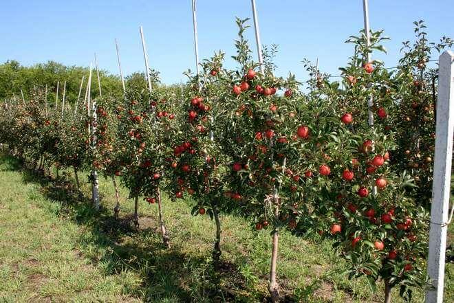Основные сорта карликовых яблонь для выращивания на территории РФ