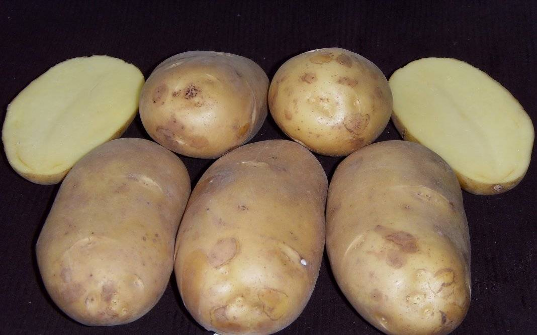 Лучшие сорта картофеля для урала (вкусные, урожайные, ранние, средние, поздние, рассыпчатые): описание, характеристика, фото