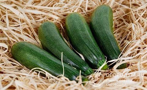 Как хранить кабачки на зиму в погребе: можно ли сохранить плоды свежими до весны и как хранить их правильно, создание необходимых условий