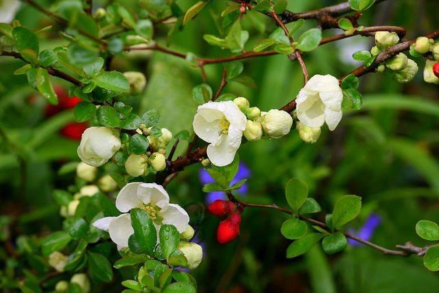 Айва японская размножение делением куста. уход за посадками