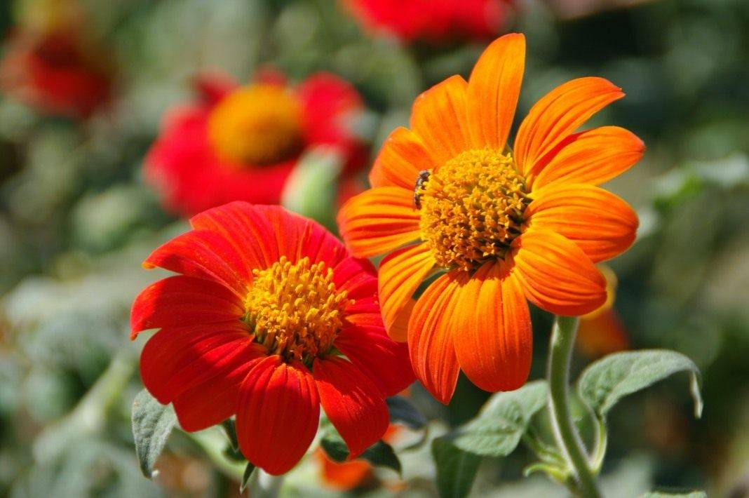 Как ухаживать и вырастить титонию в саду