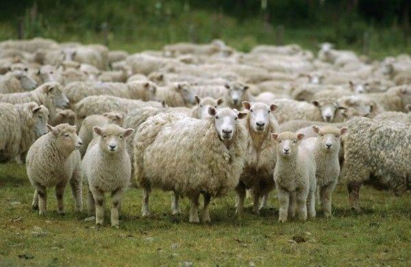 Овца животное. описание, особенности, виды, образ жизни и среда обитания овцы | живность.ру