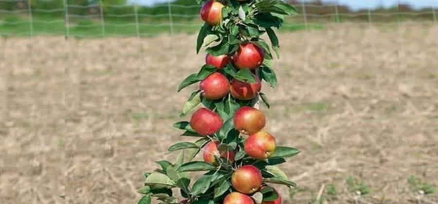Колоновидные яблони - сорта с фото и описанием