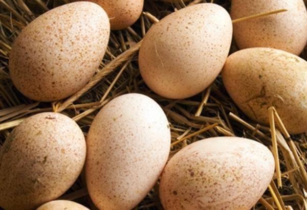 Сколько дней высиживает яйца индюшка в домашних условиях - дневник садовода amparagroup.ru