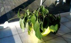 Спатифиллум поникли листья - садоводство