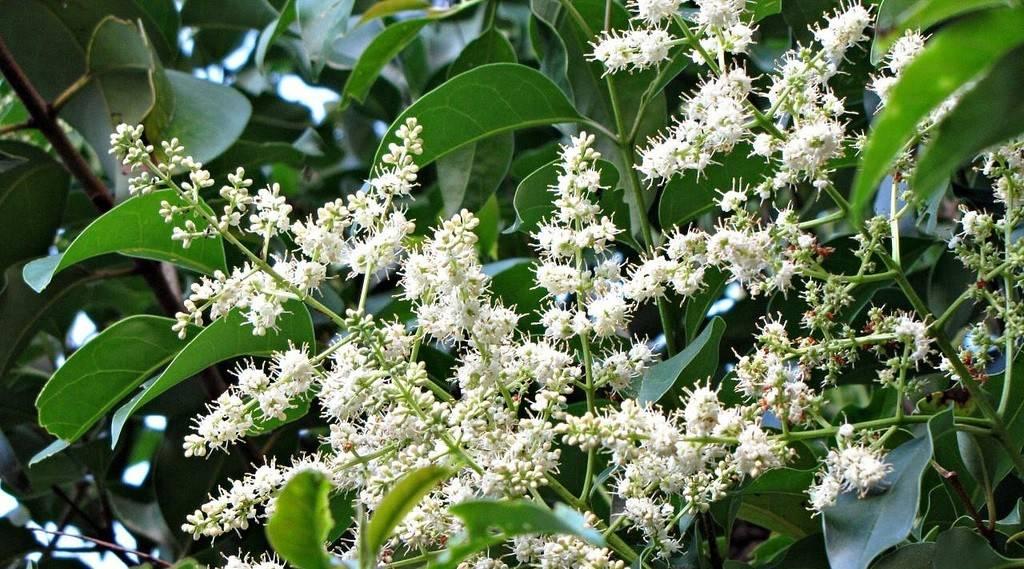 Виды бирючины: описание растения, посадка и уход, фото