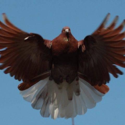 Статные голуби классификация всех видов