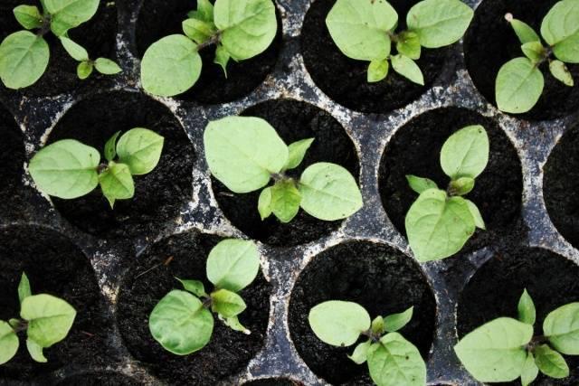 Баклажаны: схемы и сроки высадки рассады в 2021 в теплицу и открытый грунт