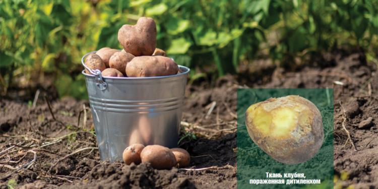 Профилактика и методы борьбы с нематодой картофеля. » удачные советы