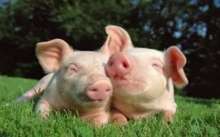 Разведение и выращивание свиней в домашних условиях как бизнес: готовый план по открытию и развитию свинофермы и расчет рентабельности свиноводства