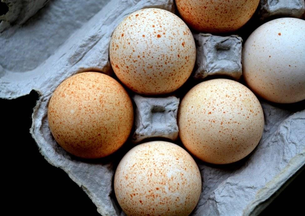 Инкубация индюшиных яиц: пошаговая инструкция процесса и советы начинающим фермерам