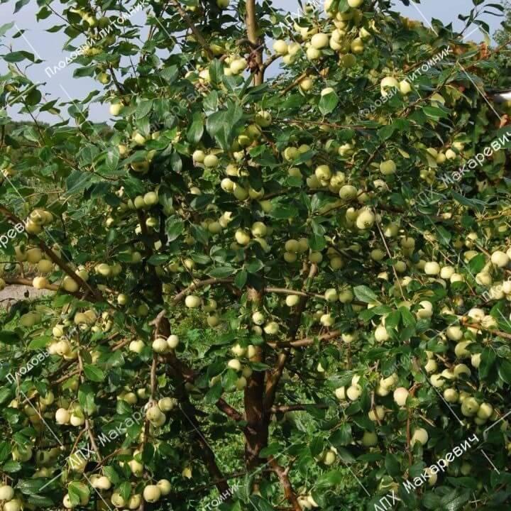 Яблоня уральское наливное: описание, фото, отзывы, высота дерева