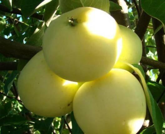 Яблоня белый налив: посадка и уход, особенности технологий выращивания selo.guru — интернет портал о сельском хозяйстве