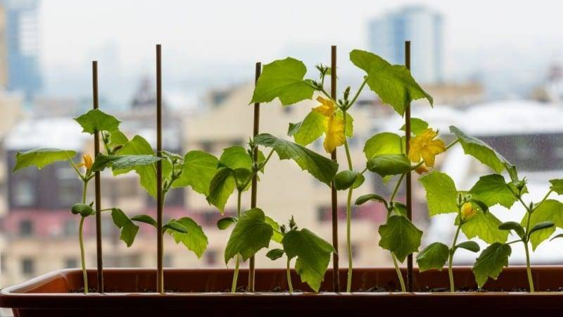 Выращивание огурцов на подоконнике от а до я. сорта. в домашних условиях