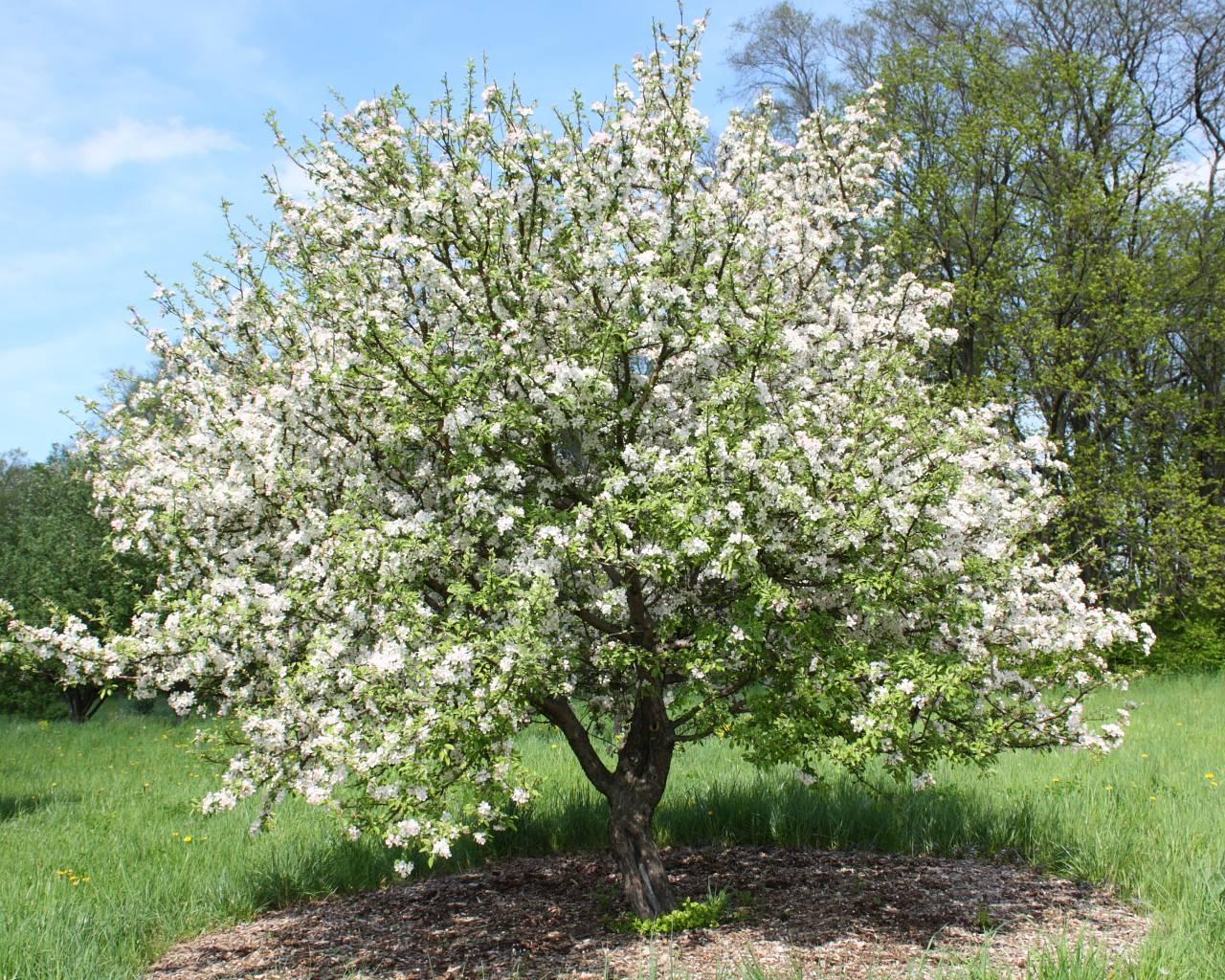 Яблоня китайка: необычный сорт в наших садах