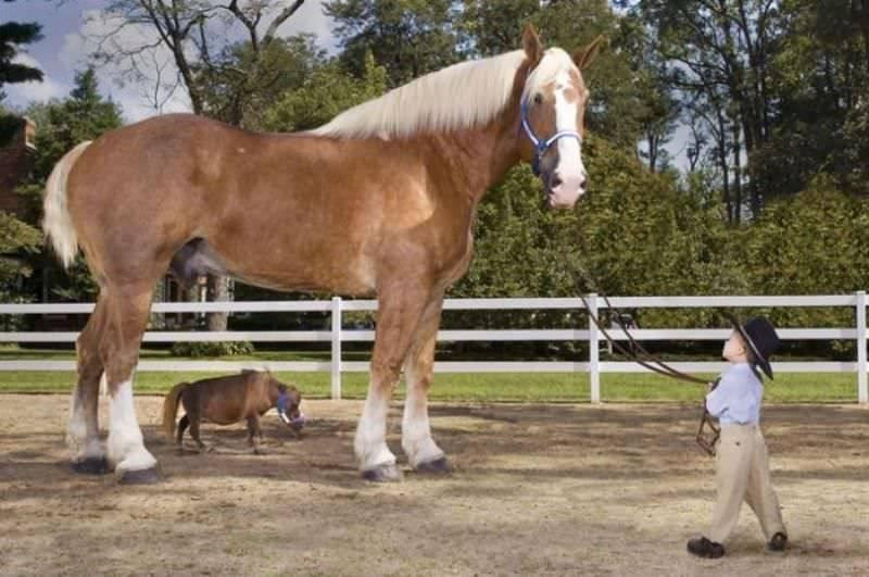 Самая большая лошадь в мире, самые крупные породы