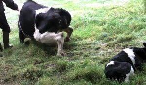 Что делать, если после отела корова не встает на ноги