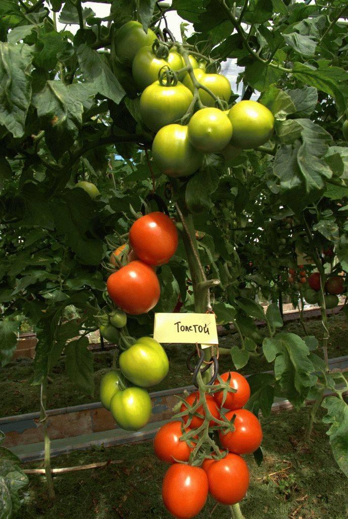 Томат иришка f1: отзывы огородников, описание сорта, характеристика, урожайность, посадка на рассаду, выращивание и дальнейший уход