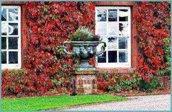 Лидер дачного декора — девичий виноград, посадка и уход за растением