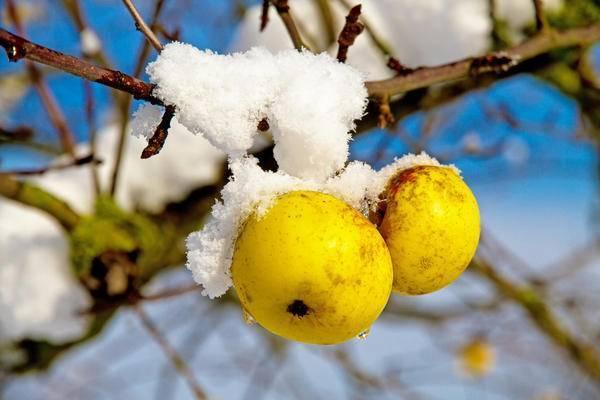 Как ухаживать за яблоней осенью - 10 правил осеннего ухода за садом - yabloki.site
