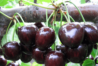 Черешня василиса: описание сорта, отзывы о нем, сорта-опылители, рекомендации по выращиванию и размножению