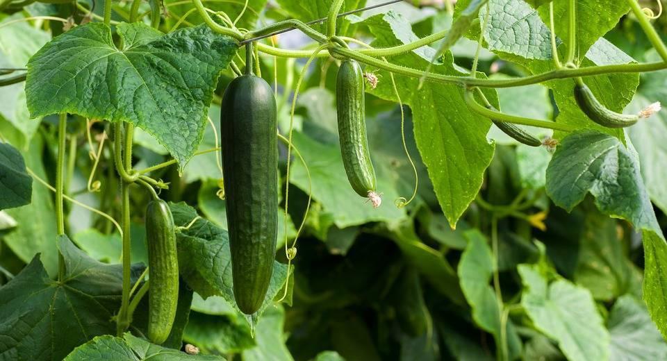 Чем подкормить огурцы, чтобы собрать отличный урожай