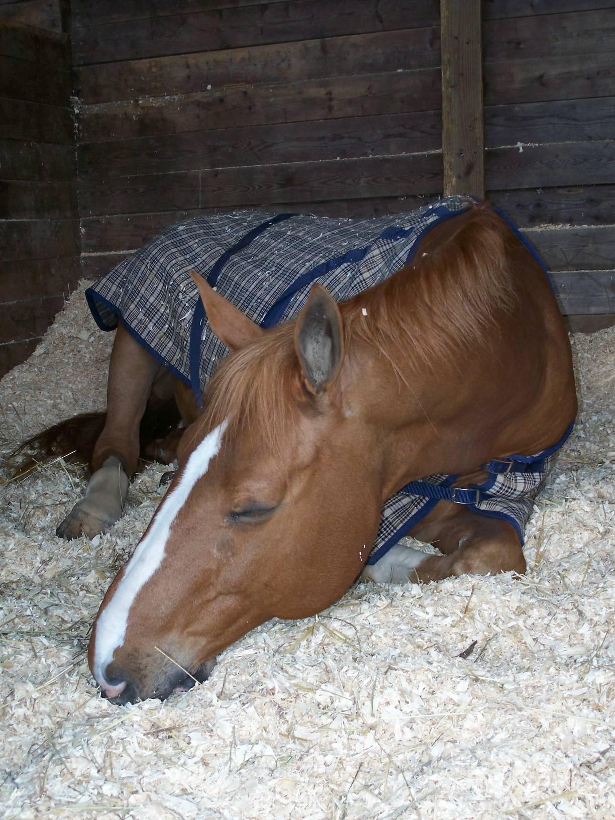 Лошадь лежит на боку что с ней. как спят лошади: мифы и правда о способах отдыха животных