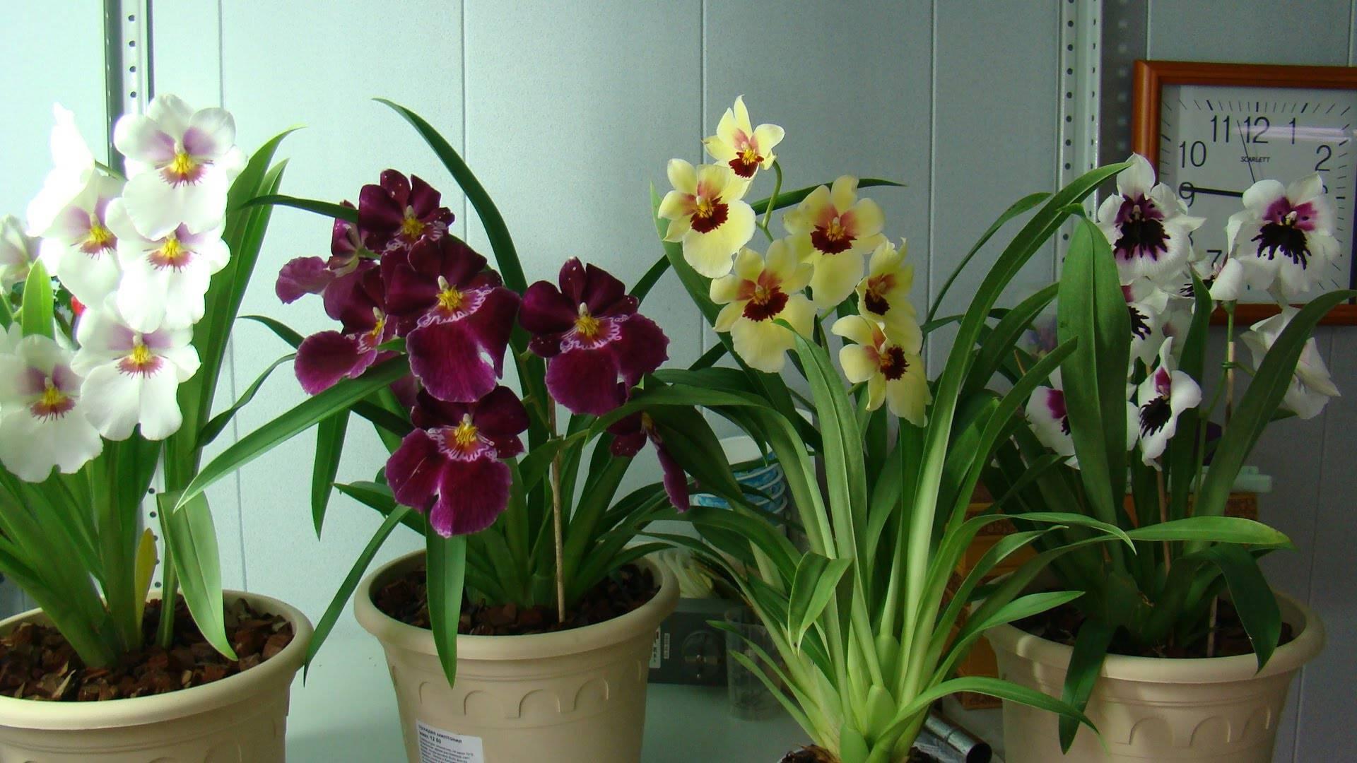 Мильтония уход в домашних условиях, фото, пересадка, размножение, полив, цветение